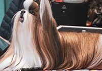 dog hairdresser Lhasa Apso grooming combing brushing fur dog show .